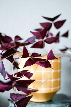 Oxalis Triangularis (Purple Shamrock) - Easy To Grow Bulbs. Garden Plants, Indoor Plants, Diy Jardim, Oxalis Triangularis, Belle Plante, Plants Are Friends, Deco Floral, Interior Plants, Interior Garden