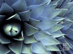 Pattern in Agave Cactus Photographic Print by Adam Jones at Art.com