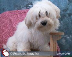 Jeffrey, a Havaton (Havanese / Coton de Tulear) puppy, born on Oct 8, 2014. I just love him!