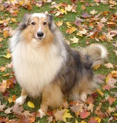 Maxine is an adoptable Shetland Sheepdog Sheltie Dog in Toronto, ON MAXINE is a stunning sable merle Sheltie who is 8 years old.Typical of a herding breed, and ... ...Read more about me on @petfinder.com