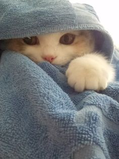 kitten wrapped in a blue towel -- I imagine this would be the cover photo for a cat's version of National Geographic ;)
