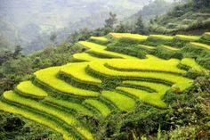 Campo de Arroz en Vietnam