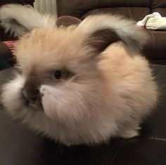 funny bunny its a lion head