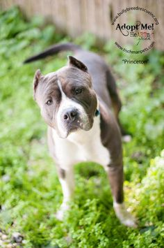 Deaf dog ready for adoption: American Staffordshire Terrier named Princeton in New Canaan, CT