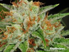 White OG  -KindReviews- 5280mosli.com -Organic Cannabis College-Top Shelf Marijuana- | #OrganicCannabis