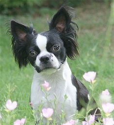 Bostillon Dog Breed Information and Pictures