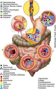 Anatomie Physiologie Mensch, Verdauungsorgane zur Verdauung Digestion im Gastrointestinaltrakt, Aufschluss der Nahrung im Verdauungstrakt Magen-Darm-Trakt mit Verdauungsenzyme