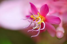 Medinilla magnifica    HPPT! | Flickr - Photo Sharing!