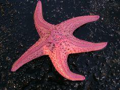 a pink starfish!