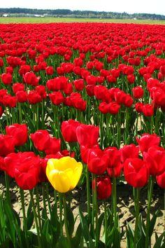 Yellow Tulip wallpaper 640x960