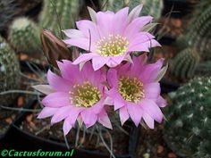 Echinopsis wrightii (old name: Lobivia wrightii)