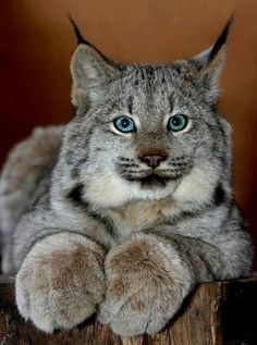Lynx    OMG look at those paws!!