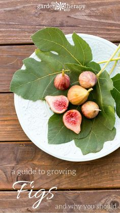 A great guide to growing figs in the home garden and why you should be growing them!