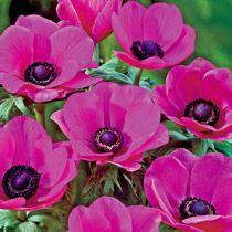 Poppy Anemone Sylphide