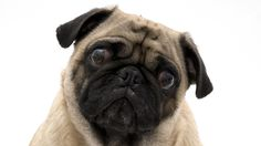 Study: Dogs show empathy to crying people