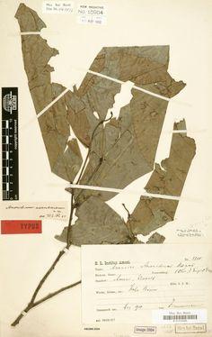 아프리카 멸종식물_https://en.wikipedia.org/wiki/Anonidium_usambarense