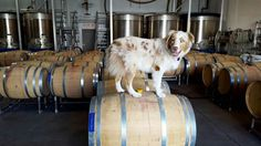 FOR PEOPLE WHO LOVE WINE & AUSTRALIAN SHEPHERDS, SHARE THIS PHOTO!!!!! :) :)