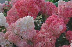 Hydrangea, Vanilla Strawberry