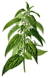 Stinging Nettle: Nettle has been studied extensively and has shown promise in treating Alzheimer's disease, arthritis, asthma, seasonal allergies, allergies, bladder infections, bronchitis, bursitis, gingivitis, gout, hives, kidney stones, laryngitis, multiple sclerosis, PMS, prostate enlargement, sciatica, and tendinitis! Externally it has been used to improve the appearance of the hair, and is said to be a remedy against oily hair and dandruff.