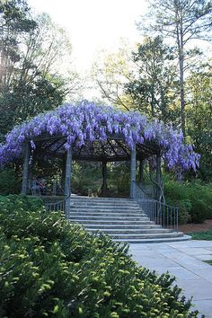 Wisteria Arbor- never plant wisteria unless you always want it to be in that place. It is extremely invasive and pretty much cannot die.