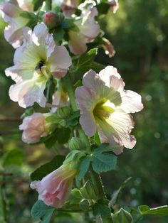 Hollyhocks grown from seed Photo: Growing Seeds, Hollyhock, Live In The Now, Planters, Gardens, Plant, Window Boxes, Flower Pots, Tuin
