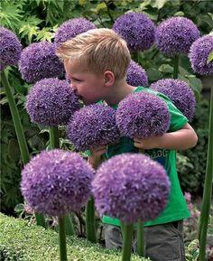 100 Pcs Rare Color Giant Allium Giganteum Beautiful Flower Seeds