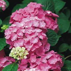 Hydrangea macrophylla A very hardy, easy to grow and reliable dwarf variety with huge deep rose pink flowers. One of the smallest hydrangeas, and is a profu Nikko Blue Hydrangea, Hydrangea Potted, Hydrangea Seeds, Hydrangea Shrub, Hydrangea Not Blooming, Pink Hydrangea, Pink Flowers, Autumn Flowering Plants, Flowering Shrubs