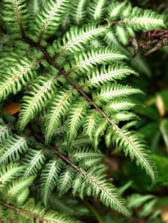 Japanese painted fern for shade