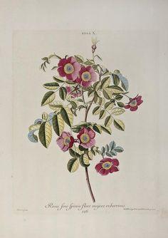Christoph Jakob Trew (1695-1769) [Hortus Nitidissimis] Rosa fine Spinis Majore Ruberrimo
