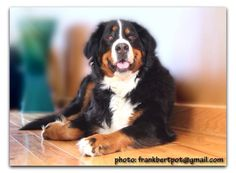 Merlin, the Bernese Mountain Dog                              …