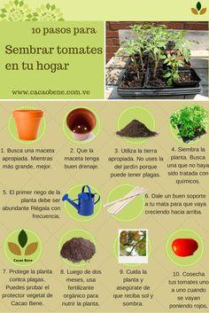 Tener un cultivo en casa es sencillo. Aprende paso a paso cómo puedes tener tu propia planta de tomates.