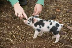me and my bestie are getting one of these next year! pixi pigs :) <3