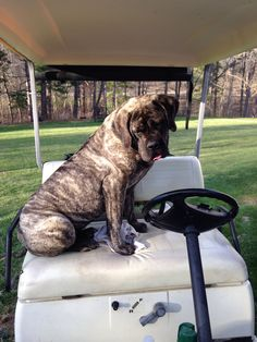 See passage in Death By Stalking about Baby in the golf cart. Mastiff Breeds, Mastiff Puppies, Dog Breeds, Dogs And Puppies, Doggies, American Mastiff, Old English Mastiffs, Living With Dogs, Huge Dogs