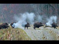 Chasse au Sanglier,Wild Boar Hunting HD