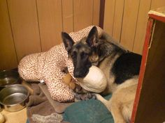 Dogs on deployment have often have grueling missions, but their down time is usually better than back in the U.S. They're with their handlers almost 24/7, and frequently share cots with them. In this photo, Rex L274 luxuriates on a giraffe print dog bed his handler, Army Sgt. Amanda Ingraham, bought him online during a deployment in Iraq. (Photo courtesy Amanda Ingraham)