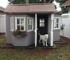 Cool Dog House Sampson's!  White Golden Retriever  Just checking out his new digs.