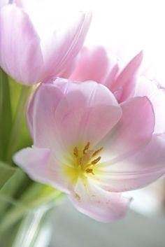 Drömhus/Sköna hem, tulips