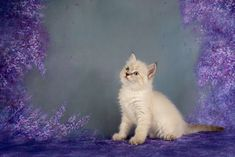 StarLord Peter A Zwollywood Cat. Weeks old Ragdoll kitten. Seal tabby colourpoint from the Guardians of the Galaxy litter. Cattery, Kittens, Cats, Star Lord, Guardians Of The Galaxy, Seal, Animals, Cute Kittens, Gatos