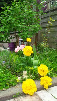 Reuze tulpen