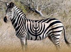Menorah Zebra