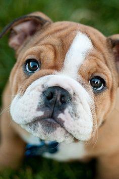 Awwww... what an adorable bulldog puppy animals