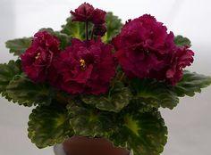Harmony`s Frilly Girl (Harmony's Greenhous).  Крупные, густомахровые бордовые цветы, как георгины, с более темным (почти черным) оттенком к краям лепестков. Края зубчатые. Очень красивая герл листва. Изумительный сорт! (фото чужое)