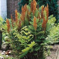 Ferns are perfect for woodland settings and shady sites. Planting ferns in large groups creates lush displays of deep green. Ferns come in a range of styles. Shade Perennials, Shade Plants, Flower Landscape, Landscape Design, Shade Garden, Garden Plants, Garden Gnomes, House Plants, Cinnamon Fern