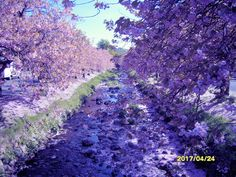 Blossom time along the burn at Dollar, Clackmannanshire, Scotland