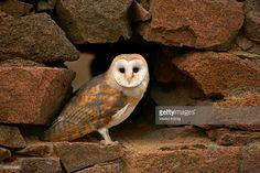 ストックフォト : Barn Owl (Tyto alba), captive, Czech Republic, Europe