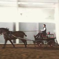 ALTANERO GEMA, de Yeguada La Troyeta, al enganche indoor #caballos #purarazaespañola #ancce #prehorse #spanishhorses
