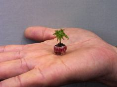 As if a bonsai tree wasn't small enough, this Japanese maple tree has been described as the Worlds smallest Bonsai tre