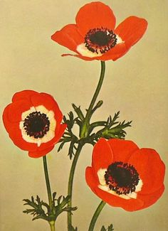 Vintage Botanical Flower Print, 1940s Excelsior Anemone, Dorm Decor, Dutch Book Plate No. 44 (Matted & Frames Immediately). $9.00, via Etsy.