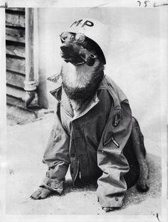 """peerintothepast: Pfc. """"Thorn"""" dressed in an MPs uniform and helmet somewhere in England where he serves as guard dog on an airfield. 1944 #WarDogs"""