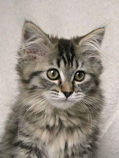 Kiwi von Sinthari, ein Deutsch Langhaar-Katzenmädel mit 12 Wochen